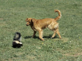 Striped Skunk in Defensive Posture Trying to Spray Dog