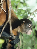 Spider Monkey  Male  Panama