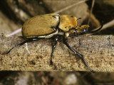 Rhinoceros Beetle  Panama