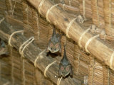 Yellow Wing Bats  Nairobi  Africa