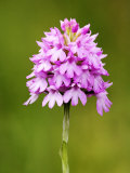 Pyramid Orchid  Close up of Spike  UK