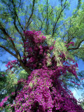 Bougainvillea  Kenya  Africa