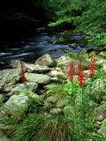 Cardinal Flower in Flower  TN