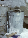 Raccoon  Climbing out of Urban Garbage Can  Winter