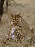 Lion  Lioness with Baby Impala Kill  Kenya  Africa