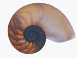 Chambered Nautilus  Nautilus Macromphalus  Cross Section