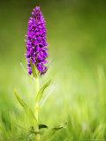 Southern Marsh Orchid  Devon  UK