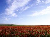 Poppy Field in Newquay  UK