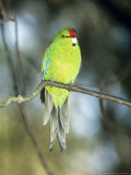 Red-Crowned Parakeet  N Zealand