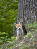Red Fox  Fox Cub  Vaud  Switzerland