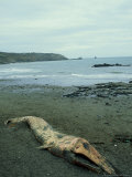 Fin Whale  Dead on Shore  Devon  UK