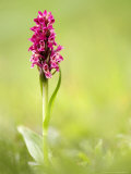 Coccinea Early Marsh Orchid  Devon  UK