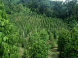 Pepper Plant Crop  Borneo