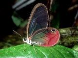 Butterfly  La Selva  Costa Rica