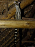 Common Genet  Visiting the Samburu Intrepids Dining Room  Kenya  Africa