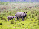 Indian Rhinoceros  Mother and Calf  Assam  India