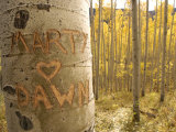 Carved Names in Aspen Tree  Colorado  USA