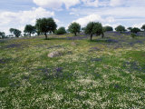 Flowering Meadow with Quercus Ilex  Extremadura  Spain