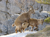 Ibex  Young Ibex Mating  Switzerland