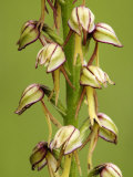 Man Orchid  Flowers Close Up  UK
