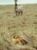 African Lion  Lioness in Ambush  Tanzania