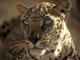 Arabian Leopard  Male  United Arab Emirates