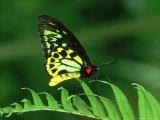 Cairns Birdwing  Queensland  Australia