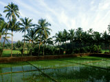 Rice in Paddy Fields  Goa