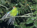 Red-Crowned Parakeet  New Zealand Endemic