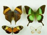 Museum Specimens of Tropical Butterflies