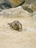 Beecheys Ground Squirrel  Yawning  California  USA