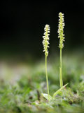 Musk Orchid  Kent  UK