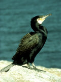 Cormorant  Adult  Scotland  UK