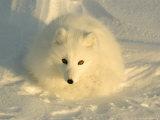 Arctic Fox  Along the Ice Edge of Hudson Bay  Manitoba  Canada