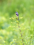 Grey-Backed Shrike  Perched on Bush  Assam  India