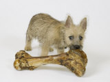Cairn Terrier Puppy with Bone  4 Months Old