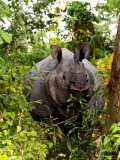 Indian Rhinoceros in Bushes  Assam  India