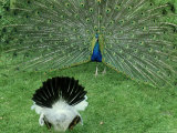 Peacock  Displaying to Female