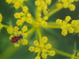 Beetle on Umbel Flower  Spain