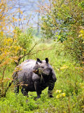 Indian Rhinoceros  Eating in Bushes  Assam  India