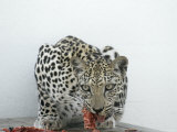 Arabian Leopard on the Brink of Extinction  United Arab Emirates