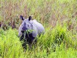 Indian Rhinoceros  Standing in Long Grass Eating  Assam  India