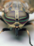 Female Horse Fly