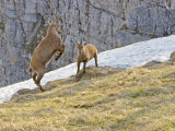 Ibex  Young Male and Female Fighting  Switzerland