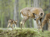 Whitetail Deer  Fawn Approaches Doe It Thinks is Its Mother