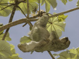 Three-Toed Sloth  Quepos  Costa Rica