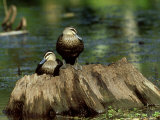 Pacific Black Duck  Pair  Australia
