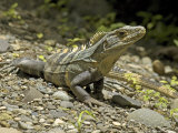 Spiny Iguana  Quipos  Costa Rica