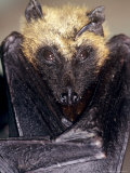 Fruit Bat  Resting  Madagascar
