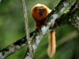 Golden Lion Tamarin  Rio De Janeiro  Brazil